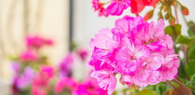 Geranium in summer garden