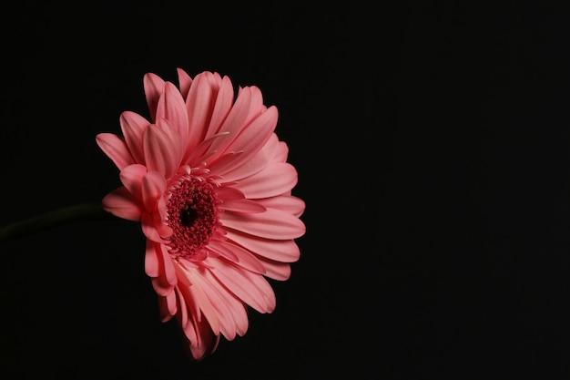 Gerbera beautiful vibrant flower