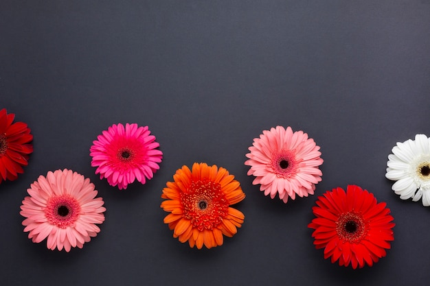 Gerbera daisy flowers on black copy space background