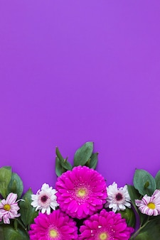 Gerbera daisy flowers on violet copy space background