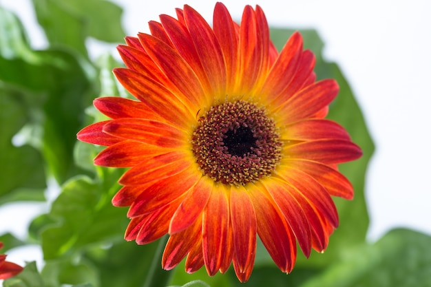 Gerbera flower background and spring