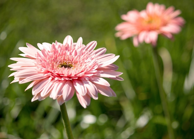 Gerbera flower in a garden