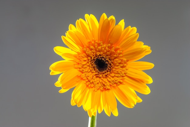 중립 배경에 고립 된 gerbera 꽃 중립 배경에 고립 된 꽃