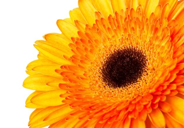Цветок герберы оранжевый и желтый на белом фоне