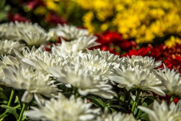 Gerbera flower plant color