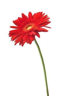 Цветок герберы красный на белом фоне