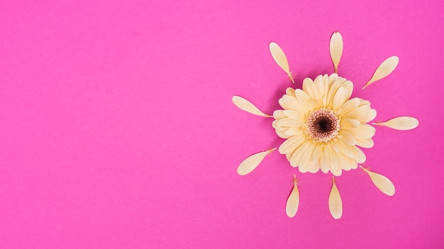 Gerbera flower with petals on table