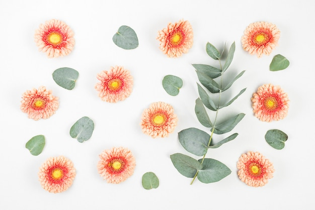 Gerbera flowers and green leaves on white background