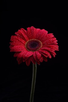 Gerbera flowers isolated on black background