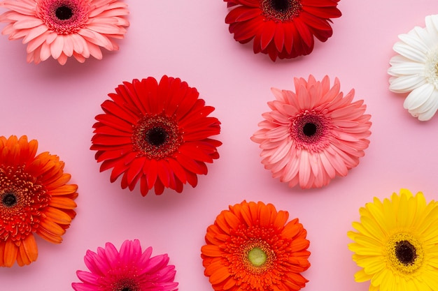 Gerbera flowers on pink background
