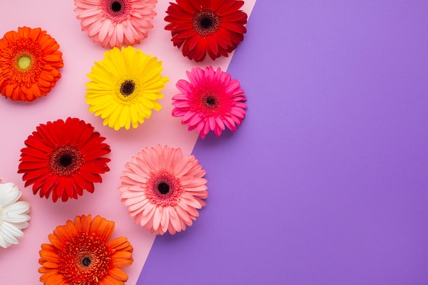 Gerbera flowers on pink and violet copy space background