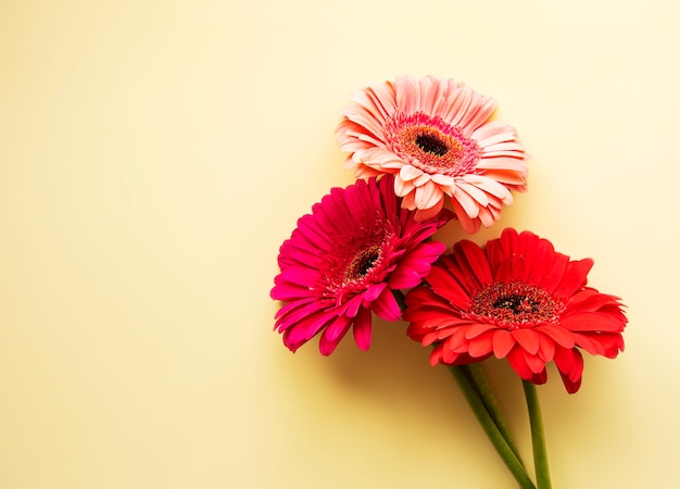 Gerbera  flowers  on a yellow background. top view