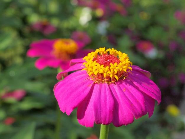 Gerbera flowers.