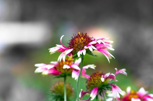 Gerbera or gaillardia aristata or blanket flower red yellow flower in full bloom in full bloom
