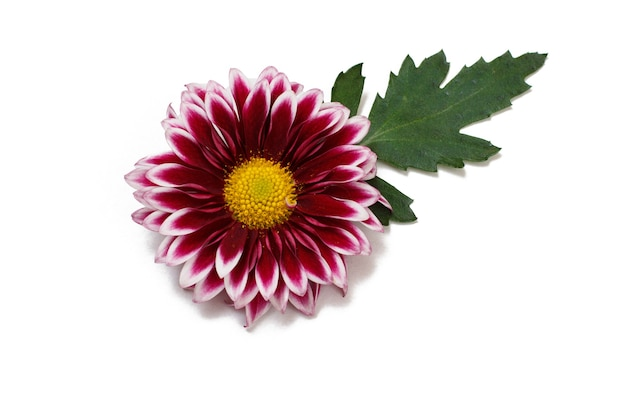 Gerbera head bud flower with leaves on white isolated background. top view.