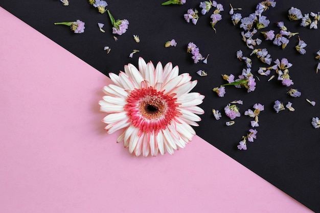 Gerbera on pink and black backdrop