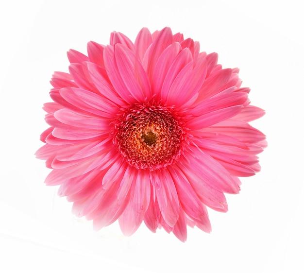 白地にガーベラピンクの花