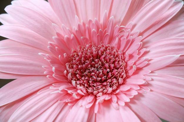 Gerbera pink petal freshness and bright beautiful flower