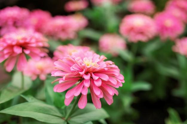 Gerbera of pink with beautiful.