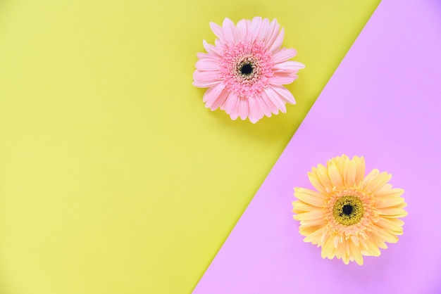 Gerbera spring flowers pink and yellow background