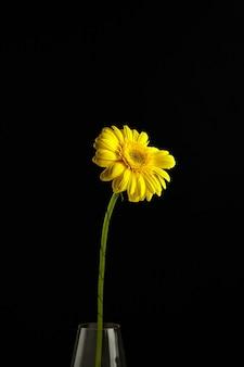 ガラスの花瓶、長い緑の茎と黒い背景に大きな鮮やかな黄色の花びらを持つ植物のガーベラ黄色い花