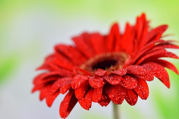 Красный красивый цветок на крупном плане предпосылки весны, макрос gerbera. хороший поздравительный подарок, дизайн карты.