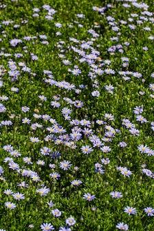 Внешний взгляд ландшафта красивой заплатки фиолетовых цветков маргаритки gerbera.