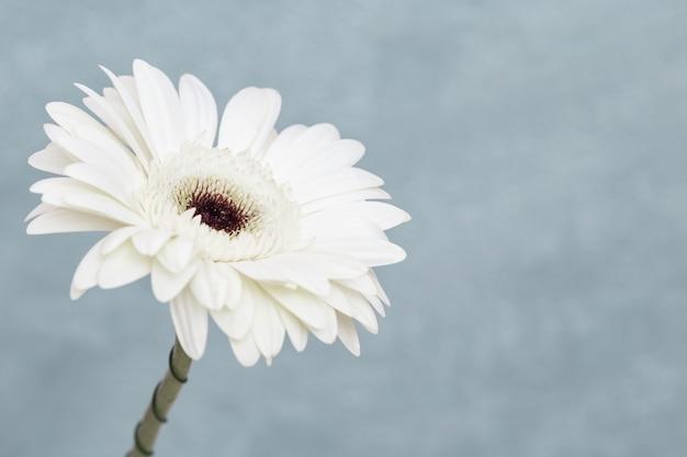 Белый конец цветка gerbera вверх с серой предпосылкой с космосом экземпляра. натуральный цветочный баннер для веб-сайта о ботанике или природе.