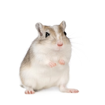 Gerbil in front on a white isolated