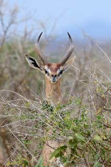 Геренук стоит вертикально, чтобы вытянуть листья, национальный парк кении, африка