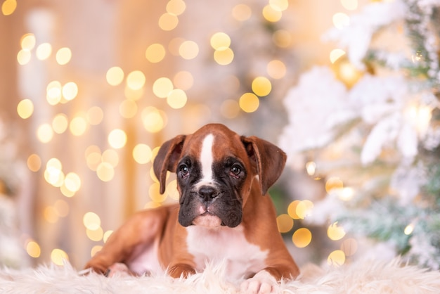 German boxer puppy. boxer puppy in the new year's beautiful studio.