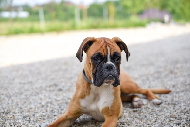 German boxer puppy lying on the ground
