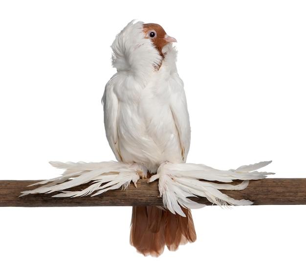 깃털 발 비둘기와 독일 헬멧 스틱에 자리 잡고