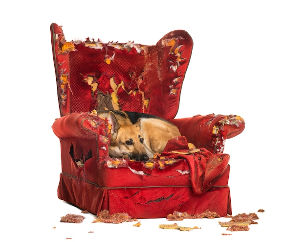 Немецкая шеперд смотрит в депрессии на разрушенное кресло, изолированное
