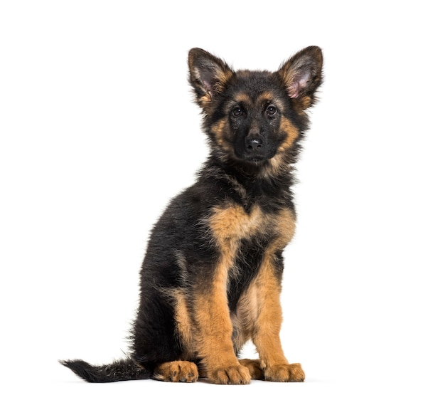 German shepherd, 3 months old, in front of white