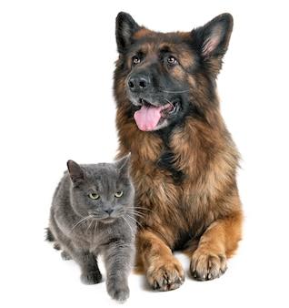 Немецкая овчарка и кошка