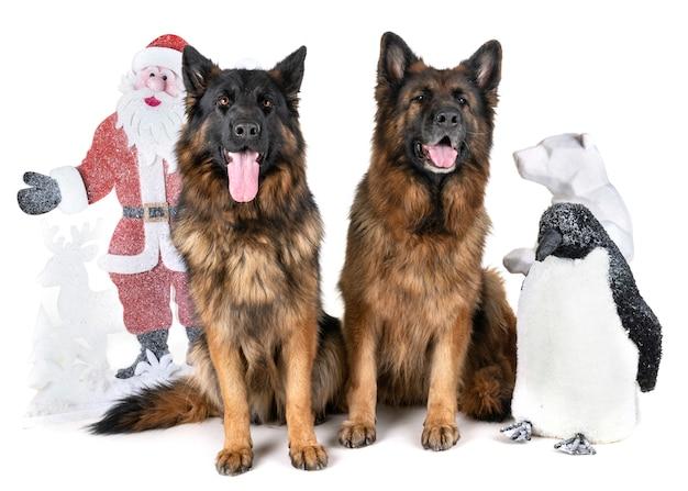 Немецкая овчарка и рождество