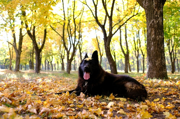 German shepherd in the autumn forest, dog agility weaves