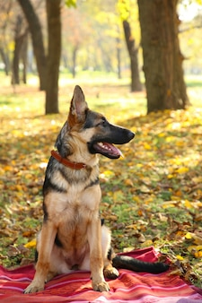 German shepherd on the bedspread in the autumn park. dog in forest