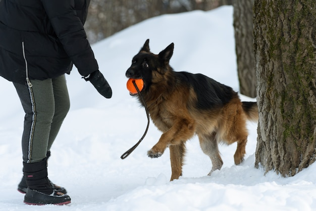 The german shepherd carries an orange ball to the owner