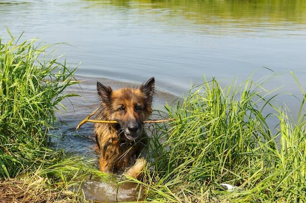 ジャーマンシェパードの犬が木の棒を歯につけて水から出てきます。犬は川で泳ぐ