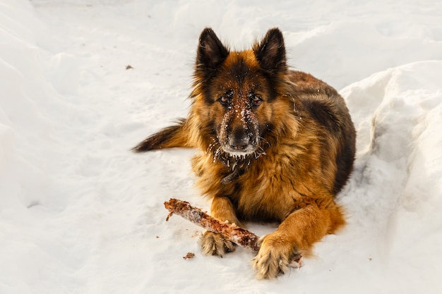 German shepherd dog laying on the snow with a stick