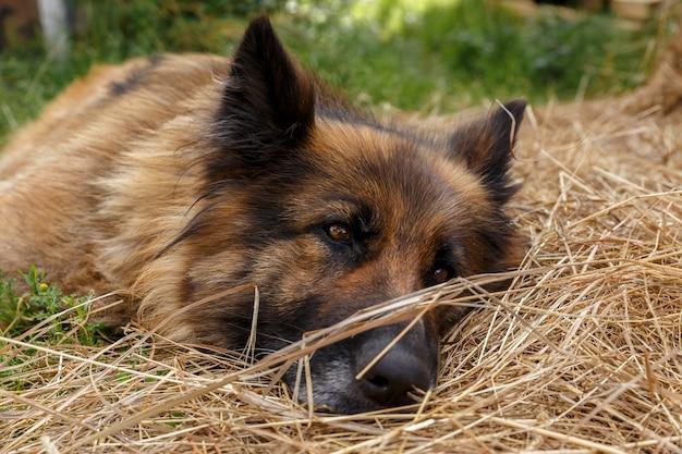 ジャーマンシェパードの犬が干し草の中に横たわっています。悲しい犬。