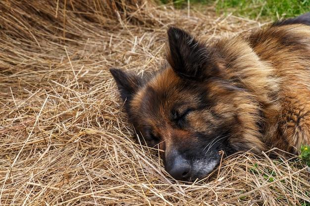 ジャーマンシェパードの犬が干し草の中に横たわっています。