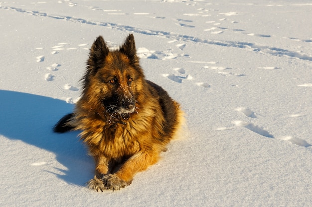 독일 셰퍼드 개는 눈에 누워 옆으로 본다. 겨울 맑은 날.