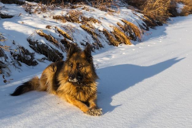 독일 셰퍼드 개는 겨울 맑은 날에 눈에 놓여 있습니다.