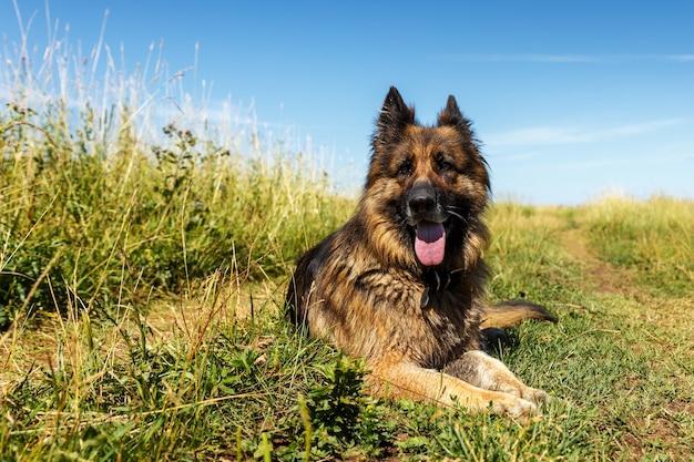 독일 셰퍼드 개는 푸른 잔디에 놓여 있습니다. 개는 더위에 혀를 내밀었다.