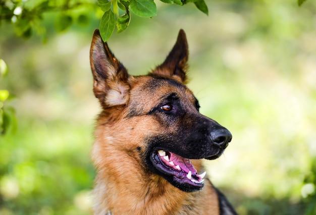 緑の草の上のジャーマンシェパード犬