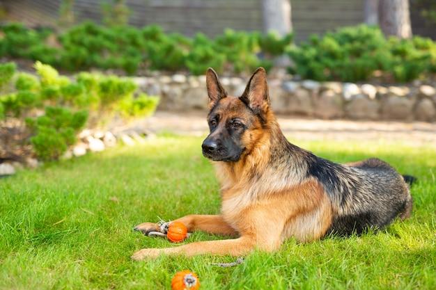 그 입에 오렌지 공을 가지고 노는 독일 셰퍼드 개. 여름 공원에서 재생 순종 강아지의 초상화.