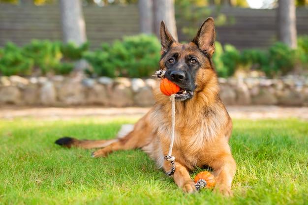 口の中でオレンジ色のボールで遊ぶジャーマンシェパード犬。